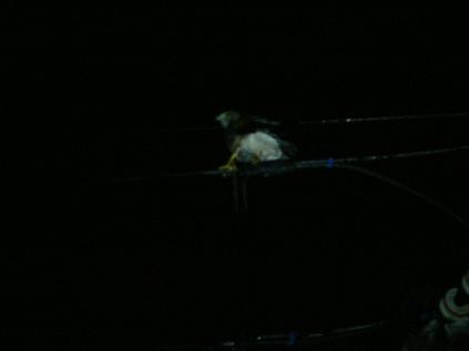 電線にとまる朱雀