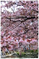 あたみ桜2