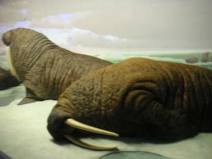 NHM-walrus.jpg