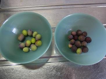 オリーブ 収穫
