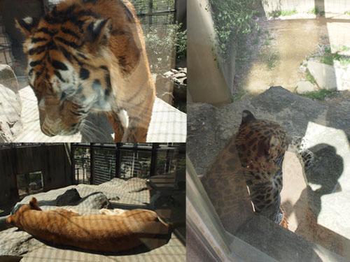 0408_tiger.jpg