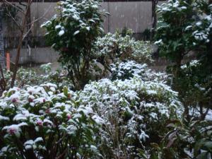 1雪の沈丁花