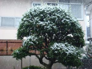 1つげの木