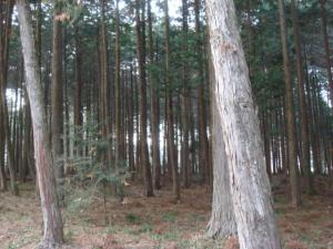 1杉の木③