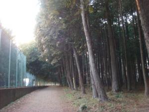 2杉の木②