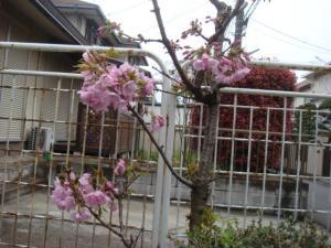 1八重桜①