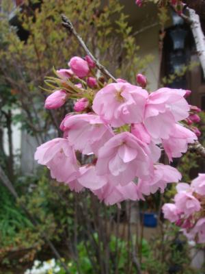 1八重桜②