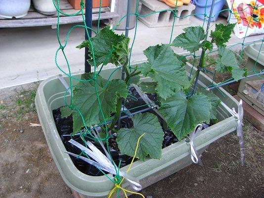 010509胡瓜の苗成長