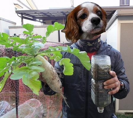 ペットボトル大根の収穫