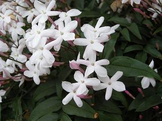 植物(ジャスミン)
