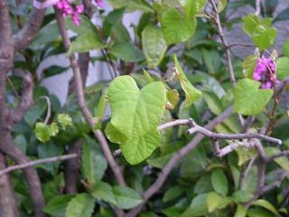 植物(花蘇芳)