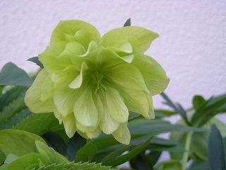 植物(クリスマスローズ)