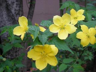 植物(山吹)