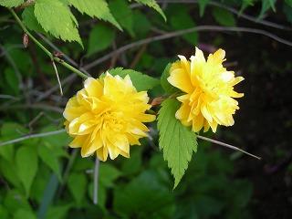 植物(八重山吹)