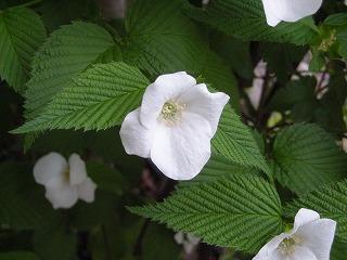 植物(白山吹)