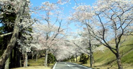 20120408sakura1-1.jpg