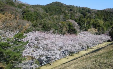 20120408sakura1-450.jpg