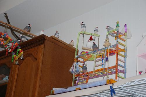 遊具に集まる文鳥ず