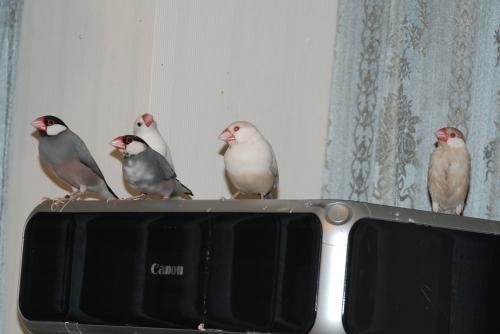 プリンターに集まる文鳥ず