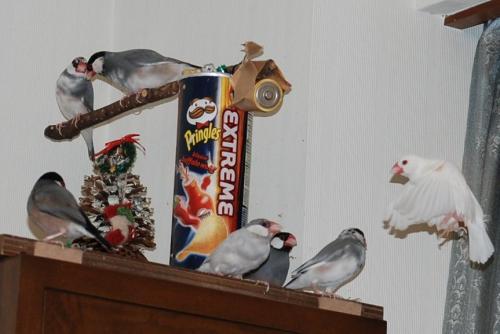 飾棚に集まる文鳥ず