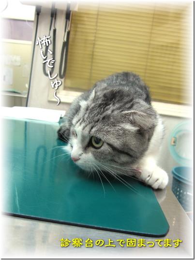 まな板の猫でしゅ・・