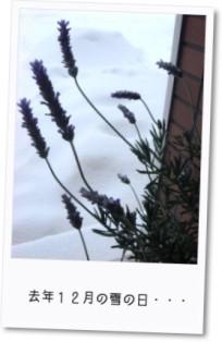 去年12月 雪の日のラベンダー