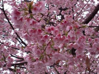 雨の駅の桜小