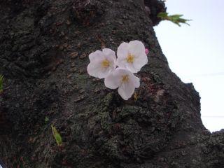 大仙公園の桜 002_320