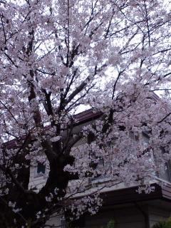 あびこの桜小