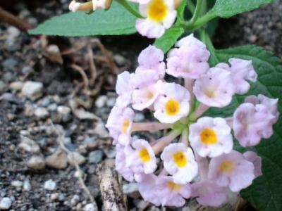 ベランダの花0618小