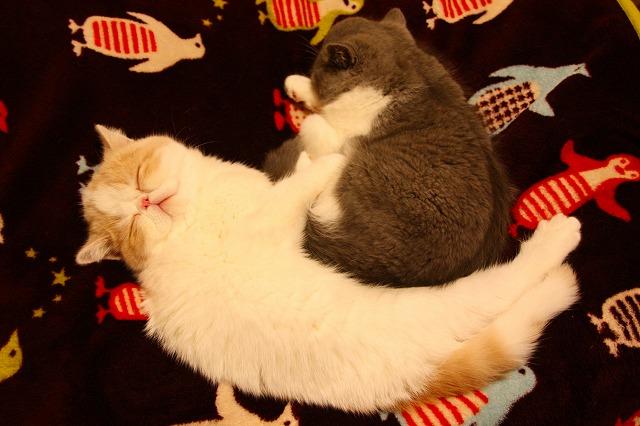夢見るネコ ジャムくま