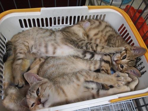 ルンルンにゃんさんの4仔猫