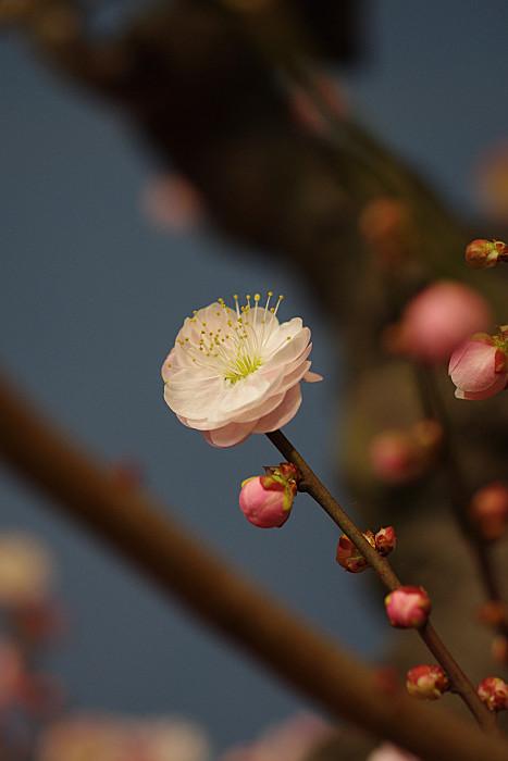 白とピンクの八重梅