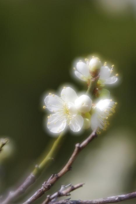 竹薮前の白梅