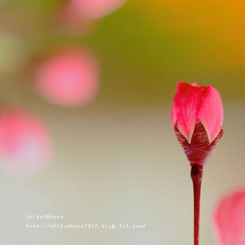 photo-309 春のふわふわお花1
