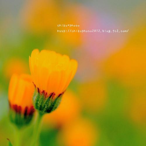 photo-309 春のふわふわお花3