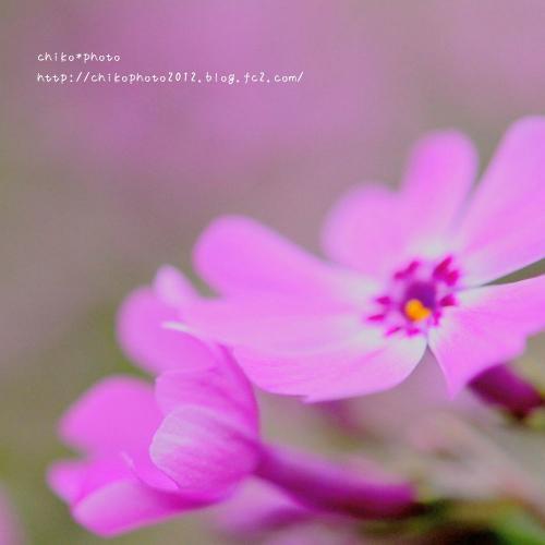photo-310 春のふわふわお花1