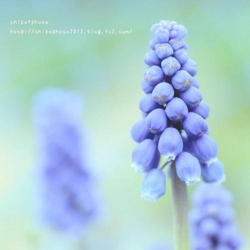 photo-310 春のふわふわお花2