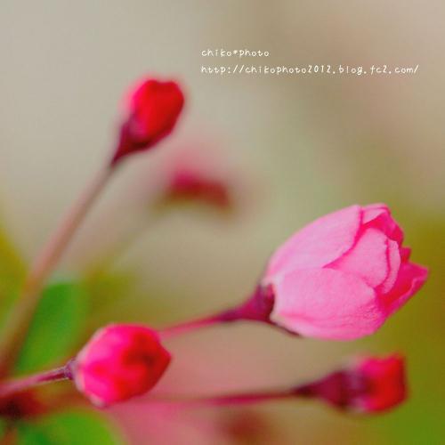photo-310 春のふわふわお花3