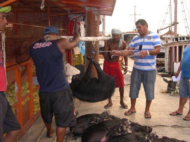 天秤棒で量られる猪は40kg