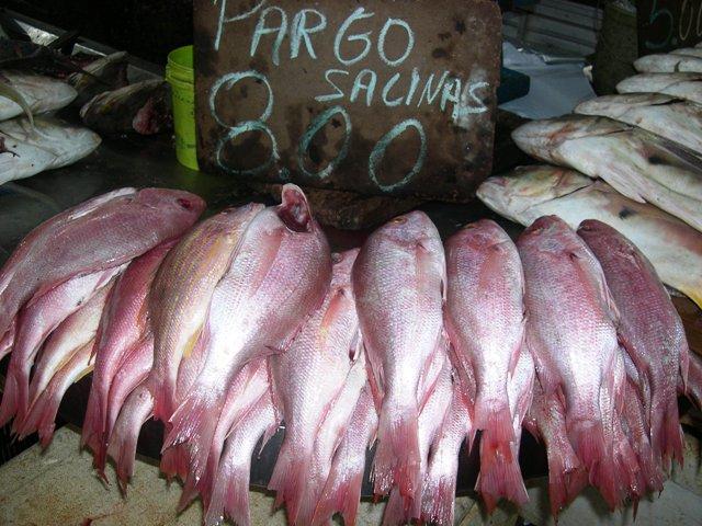 海の魚パルゴ