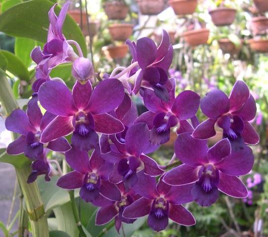 Orquidea Rita 1