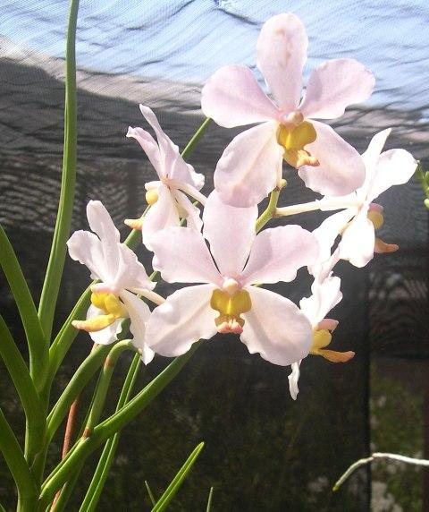 Orquidea Branaca 2