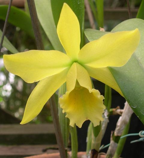 Orquidea Rita 14