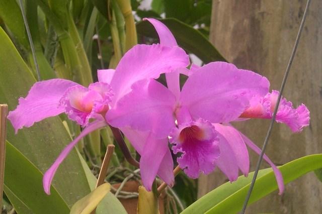 Orquidea Rita 7