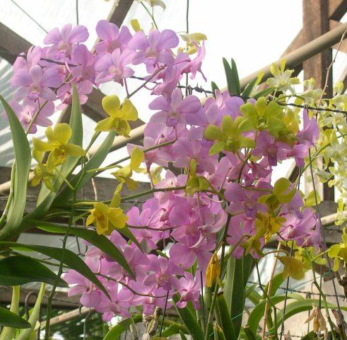 Orquidea Rita 197