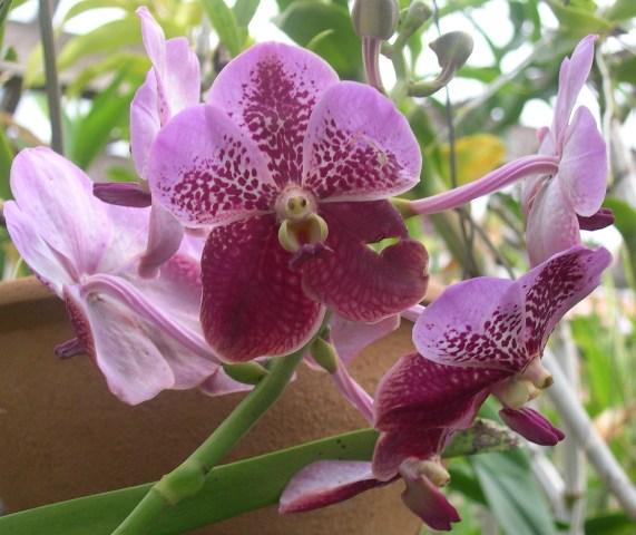 Orquidea Rita 9