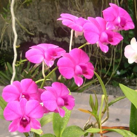 Orquidea Rita 18