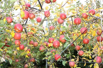りんごの木♪