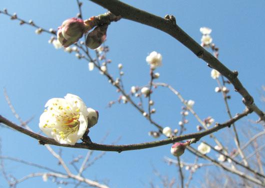 うめが咲きました